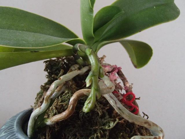 蘭の育て方 胡蝶蘭