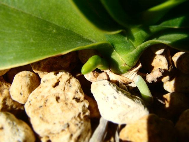 胡蝶蘭 軽石 植え替え 花芽