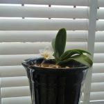今年も胡蝶蘭の花が咲きましたぞ~!!